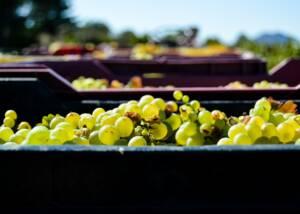 Ken Forrester Wines Harvest