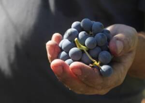 Black Grapes at Mulini di Segalari Società Agricola s.n.c