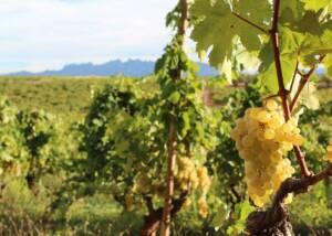 White Grapes at Recaredo
