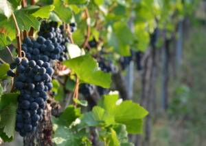 Black Grapes at Schnaitmann