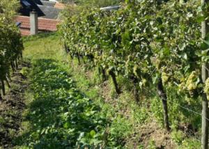 Vineyards at Weingut Manuel Engelhard