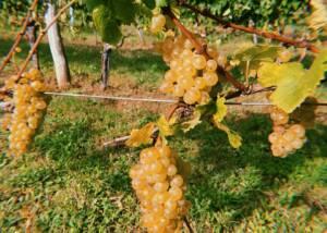 Vines at Weingut Walter Glatzer