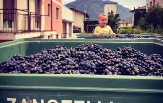 Freshly harvested black grapes at Zanotelli winery
