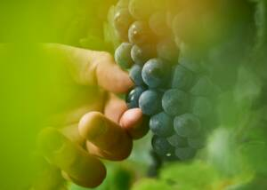 Black Grapes at Albiana Estate - Vinska klet Žaren