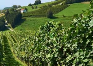 Vineyards of Albiana Estate - Vinska klet Žaren