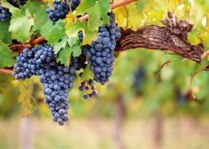 Black Grapes at Biopaumera