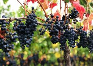 Black Grapes at Château des Tourtes