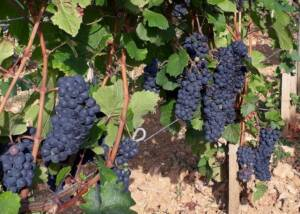 Black Grapes of Domaine Serrigny Francine & Marie-Laure