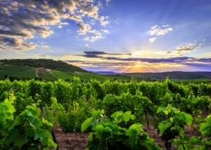 Juliet Victor Winery VIneyards