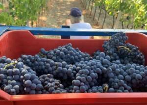 Harvest at Cantina Bastianelli