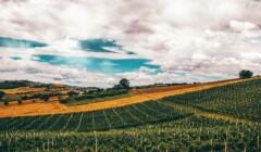 Vineyards of Cantina Bastianelli