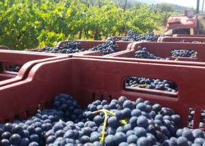 Harvest at Celler Cooperatiu Gandesa