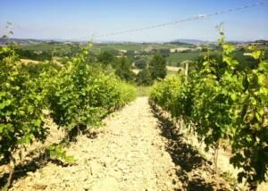 Green Vineyards of Cantine Sant'Agata