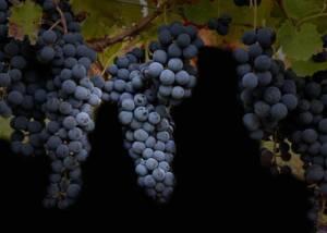 Black Grapes of Casa Vinicola D'Angelo