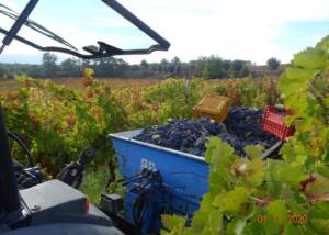 Casa Vinicola D'Angelo Harvest