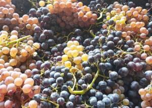 Harvest at Celler Lagravera