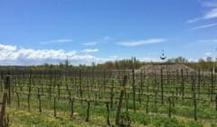 Beautiful Vineyards at Celler Lagravera