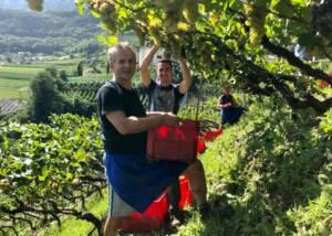 Harvest Being Picked at Kellerei St.Pauls