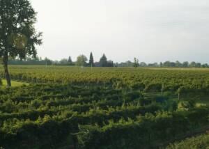 Le Carline Vineyards