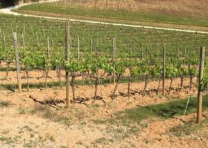 Vineyards of Poggio di Sotto