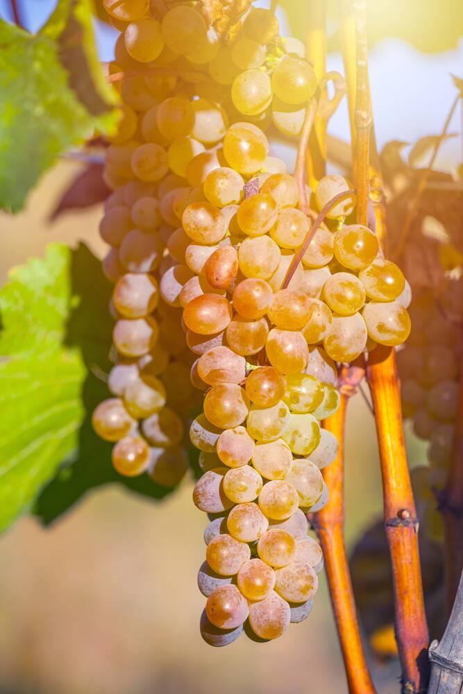 Rkatsiteli is the main grape variety of Kakheti wine region, Georgia.