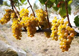 Green Grapes of Schubert Wines