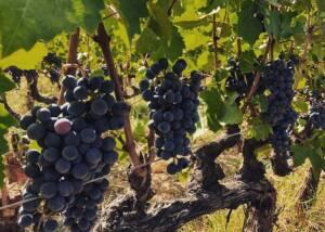 Black Grapes of Tenuta La Macchia