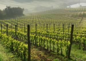 The Vineyards of Tenuta Vignega