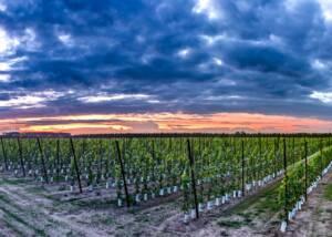 Vineyards of Wijndomein Helshoven
