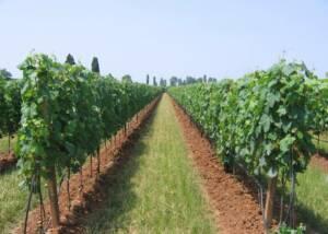 Vineyards of Adamo Lestani
