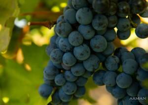Black Grapes of Arman Marijan Wines