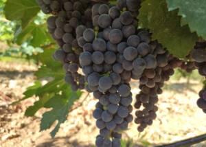 Black Grapes of Bodega Son Vich De Superna