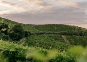 Vineyards of Bosca