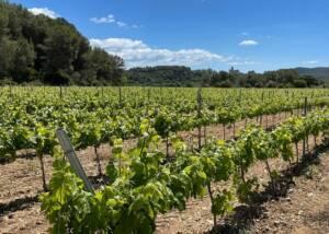 Ferré I Catasús Vineyards
