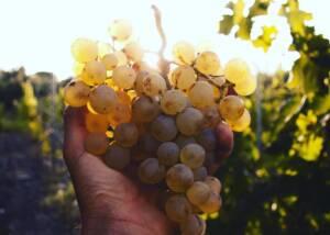 Green Grapes at I Pilastri