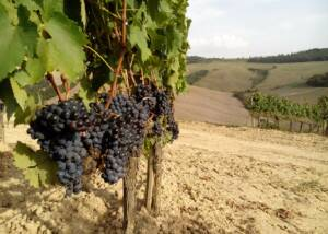 Black Grapes of Innocenti Soc. Agr.