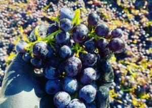 Harvest at Lark Hill Winery