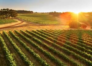 Vineyards of Leeuwin Estate